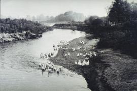1950er Gänse in der Leitha 1950